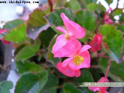 野三坡海棠花
